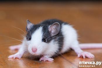 фото: В каком возрасте брать крысу?