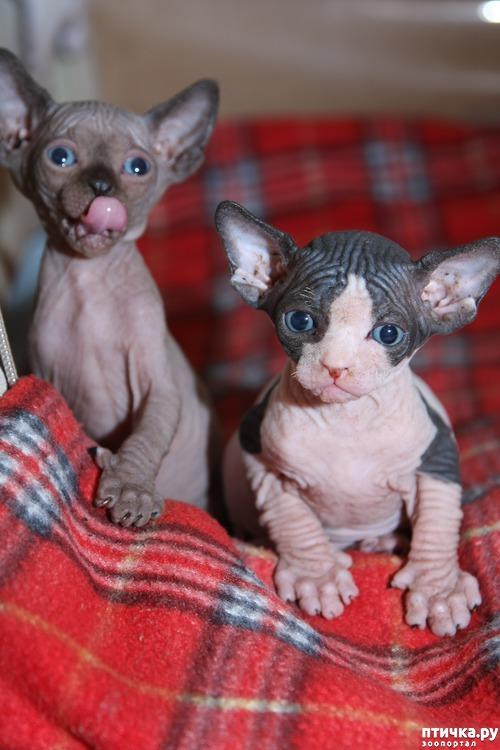 фото 1: Сфинксы-малютки