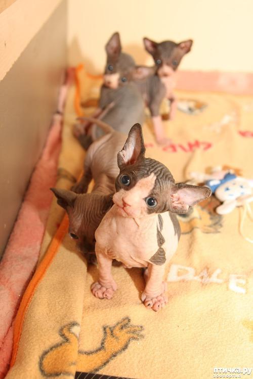 фото 6: Сфинксы-малютки
