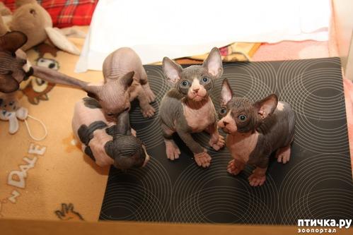 фото 7: Сфинксы-малютки