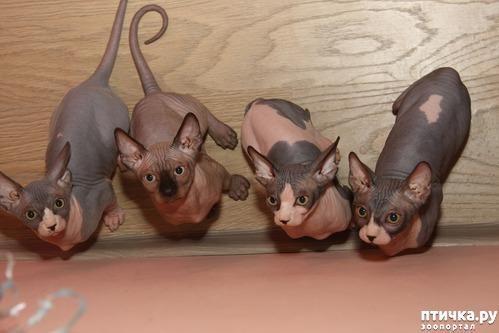 фото 9: Сфинксы-малютки