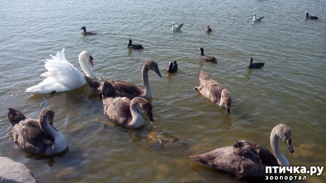 фото 2: Лебедята