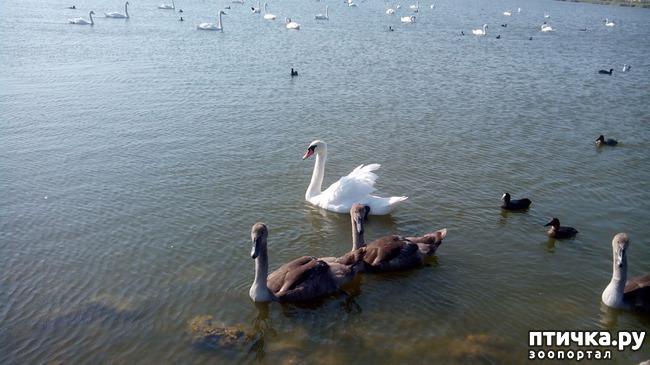 фото 4: Лебедята