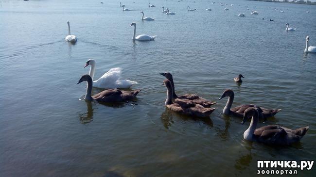 фото 6: Лебедята