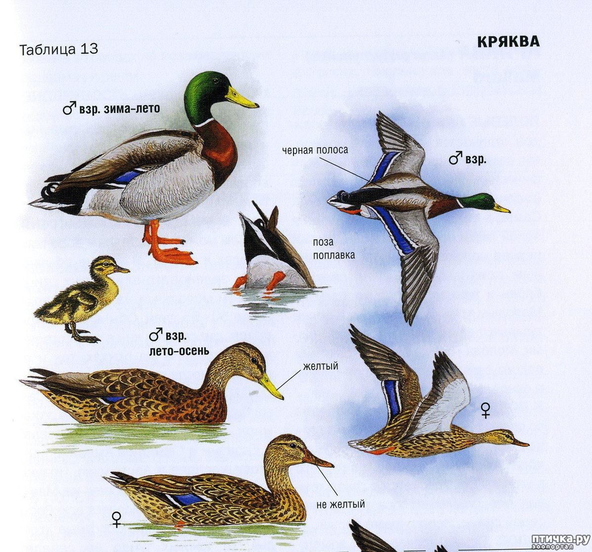 водоплавающие птицы список и картинки