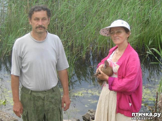 фото 1: Дикие утки в нашей компании.