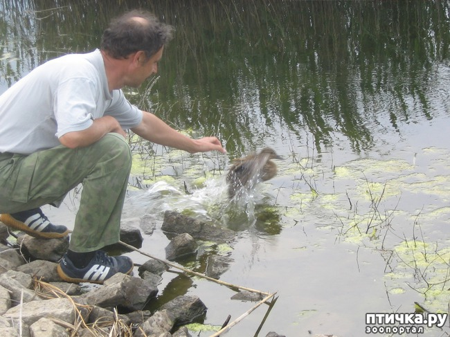 фото 4: Дикие утки в нашей компании.