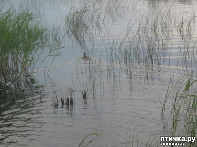 фото 5: Дикие утки в нашей компании.
