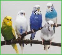 фото: Про волнистых попугаев