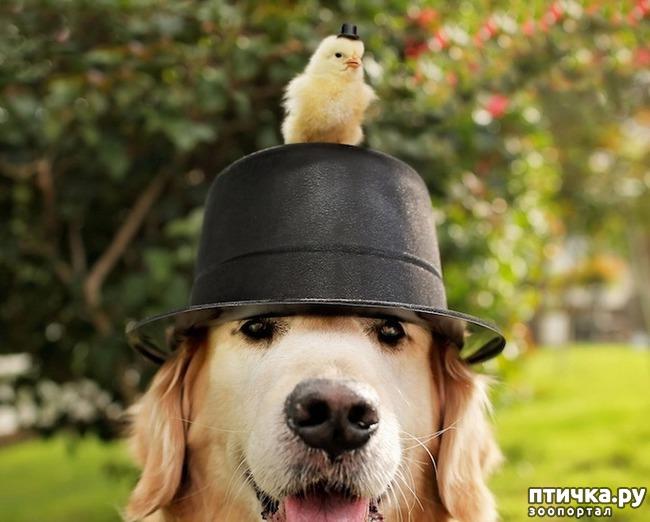 фото 1: Как цыпленок нашел себе маму