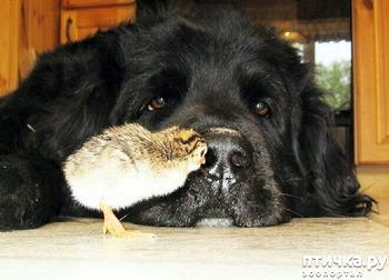 фото: Как цыпленок нашел себе маму