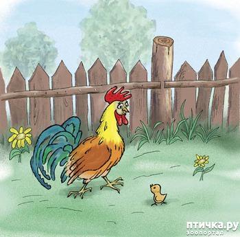 фото: Цыпленок