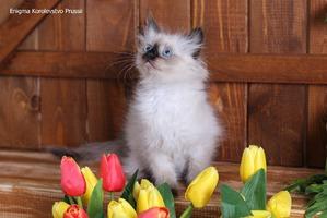 фото: Котята невской маскарадной.