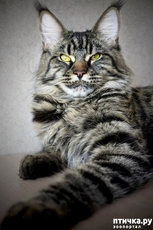 фото: Юника Агата Silver Lynx яркая представительница породы менй-кун.