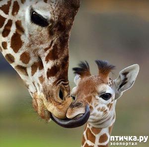 фото: Мамина любовь. Самые лучшие матери животного мира.