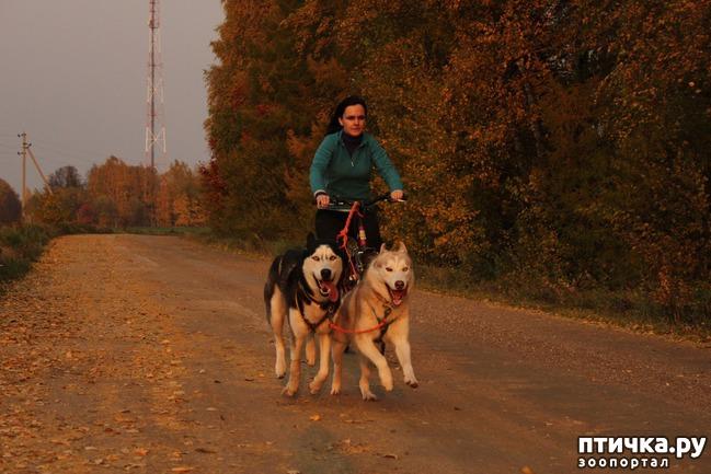 фото 4: Сибирский хаски класса «супершоуспорт»