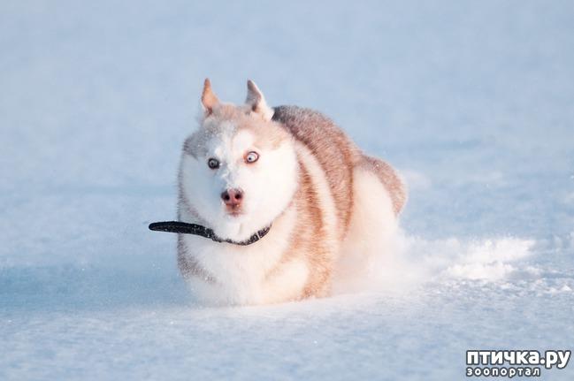 фото 1: Сибирский хаски класса «супершоуспорт»