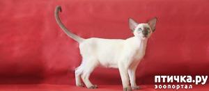 фото: Сиамские и Ориентальные кошки
