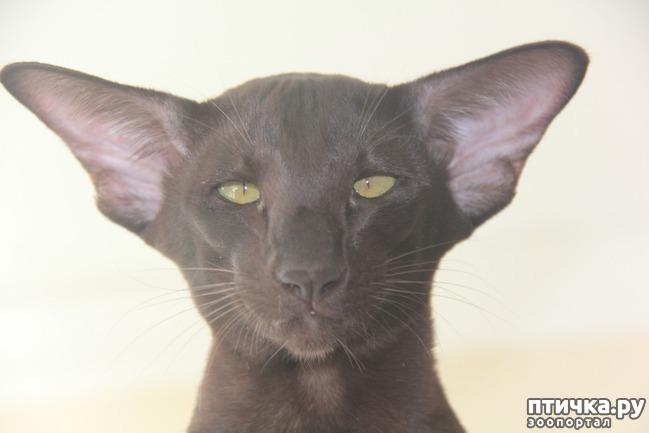 фото 2: Сиамские и Ориентальные кошки