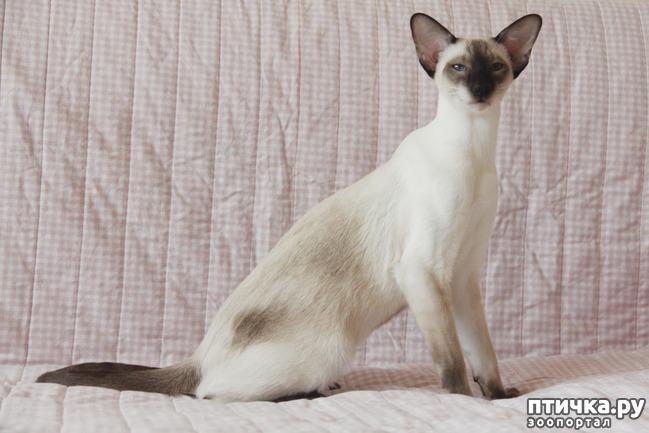 фото 2: Моя сиамская кошечка Бетта