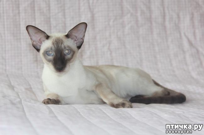фото 3: Моя сиамская кошечка Бетта
