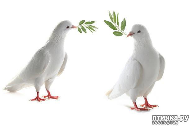фото 1: И голуби любят когда их понимают