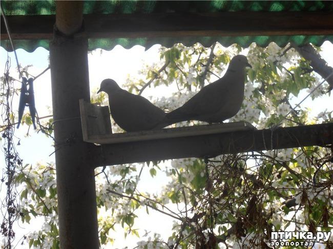 фото 13: И голуби любят когда их понимают