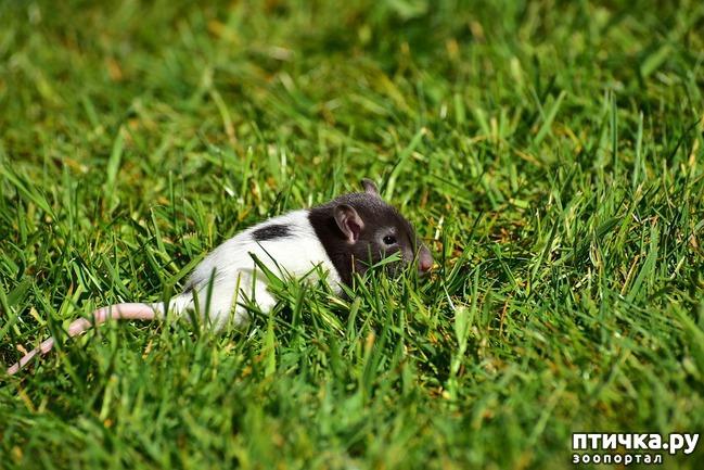 фото 1: Моя первая крыса — Крысена