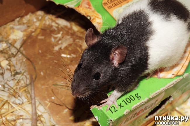 фото 2: Моя первая крыса — Крысена