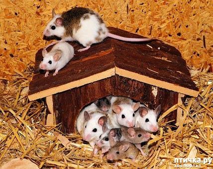 фото 1: Мои мыши. Собирательный пост.