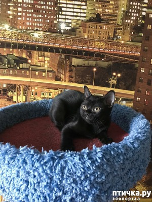 фото: Фотографии бомбейских котят