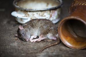 фото: Окончание: крысы Павел, Яна и Проклуша