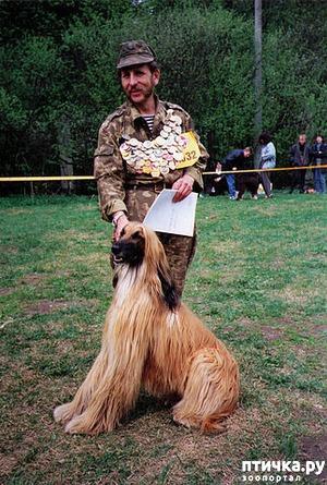 фото: ОПУСЫ или кое-что из жизни рыжего Афгана. (Опус №0) продолжение.