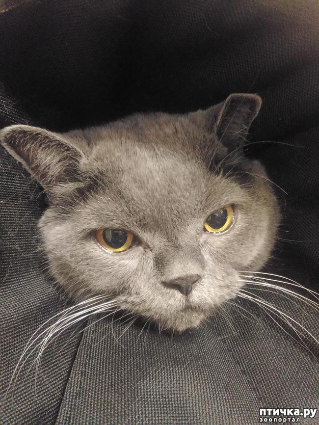 фото 5: Как британские коты занимаются лечением