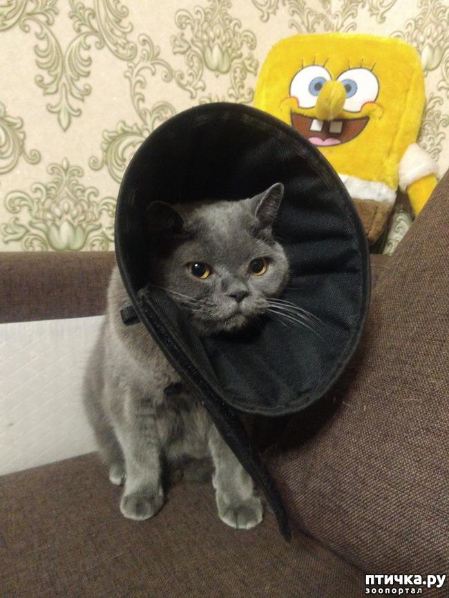 фото 4: Как британские коты занимаются лечением