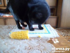 фото: Любимое лакомство Муси - кукуруза!!!