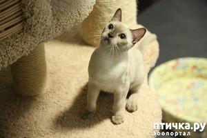 фото: Окрасы бурманской кошки (американская бурма) Шампань