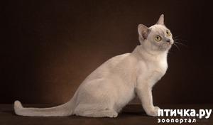 фото: Окрасы бурманской кошки (американская бурма) Платина