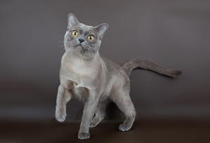 фото: Окрасы бурманской кошки (американская бурма) Голубой
