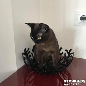 фото: Окрасы бурманской кошки (американская бурма) Соболь