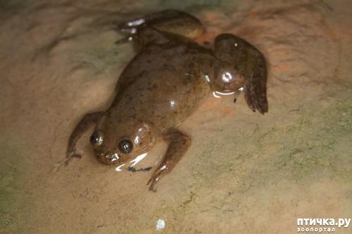 фото 1: Кормление шпорцевых лягушек