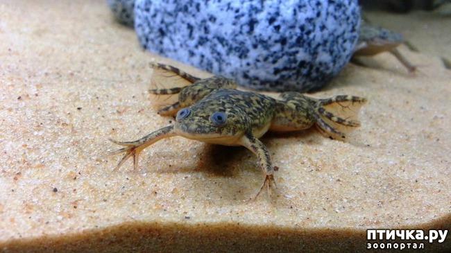 фото 2: Кормление шпорцевых лягушек