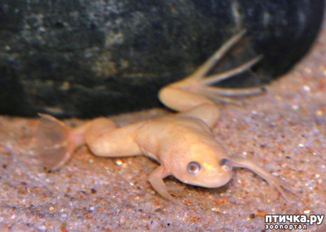 фото 3: Кормление шпорцевых лягушек