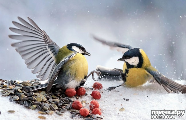 фото 8: Синичка - замечательная птичка)