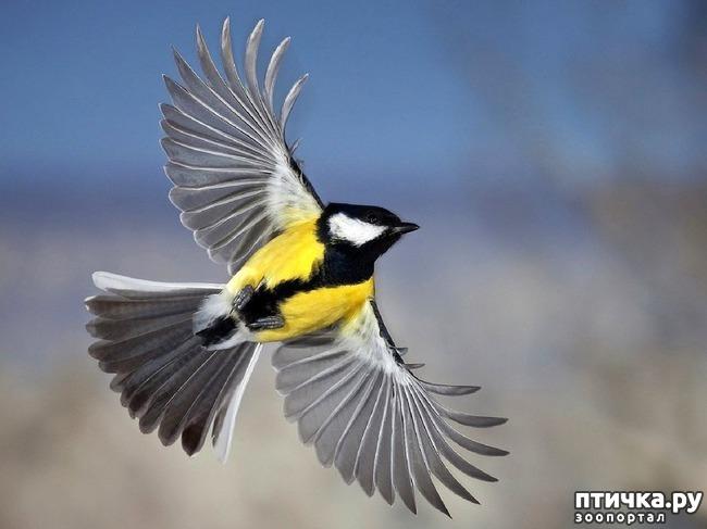 фото 10: Синичка - замечательная птичка)