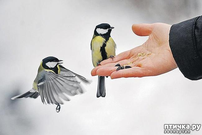 фото 9: Синичка - замечательная птичка)