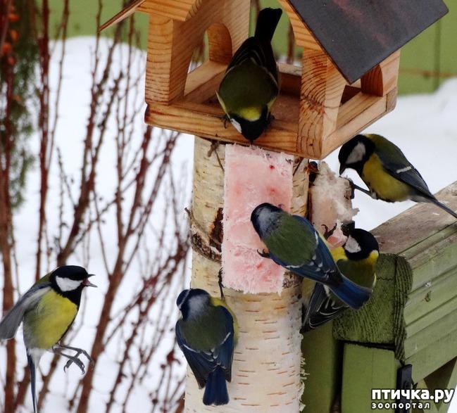 фото 4: Синичка - замечательная птичка)