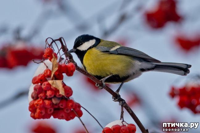 фото 3: Синичка - замечательная птичка)