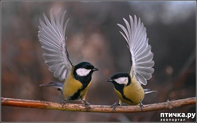 фото 11: Синичка - замечательная птичка)