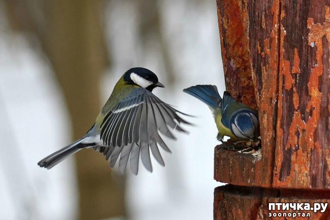 фото 12: Синичка - замечательная птичка)